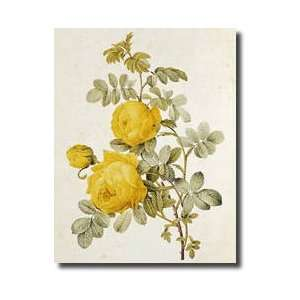 Roses By Claude Antoine Thory 17571827 Giclee Print Home & Kitchen