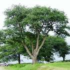 ORNAMENTAL WEEPING CHERRY TREE   2    FT   FLOWERING TREE PLANT FOR
