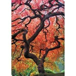 West Of The Wind OU 33540 Japanese Maple Tree   All