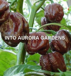 25 Chocolate Habanero Hot Pepper Brown Vegetable Seeds