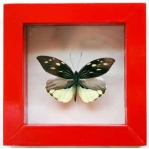 Wing Shape Butterfly the Lienix Nemesis Pieridae Mounted in Red Frame