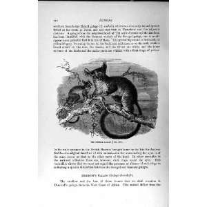 NATURAL HISTORY 1893 94 SENEGAL GALAGO WILD ANIMAL