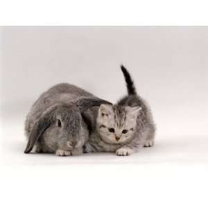 Domestic Cat, Silver Spotted Kitten with Silver Lop Eared Rabbit