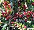 ARABIAN COFFEE TREE Coffea arabica   5+EXTRA seeds
